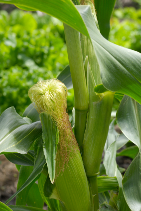 How to Grow Corn