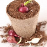 How To Grow Onions In Containers