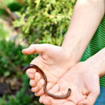 Benefits of Earthworms in the Garden
