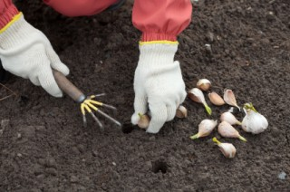 How to Grow Garlic from a Clove