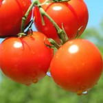 Different Types Of Tomato Plants