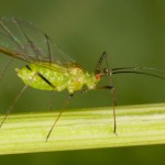 How to Identify Aphids