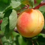 When to Harvest Apricots