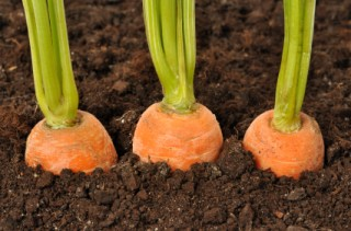 When to Plant Carrots