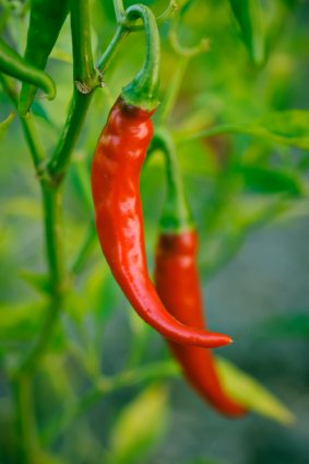 When to Plant Hot Peppers