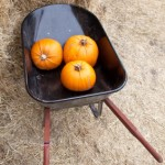 When to Harvest Pumpkins