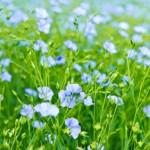 How To Grow Flax Seed