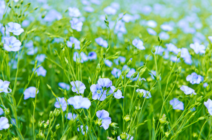 How to Grow Flax Seed