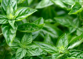 Common Problems When Growing Basil