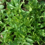 How To Grow Land Cress