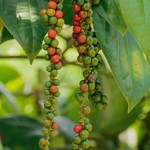 How To Grow Black Pepper